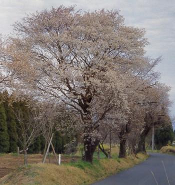 日光神線山桜